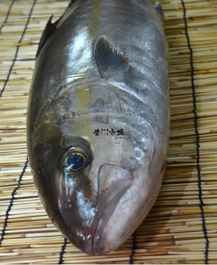 原條鱆紅魚 Pirplish Amberjack (Kanpachi) - Whole