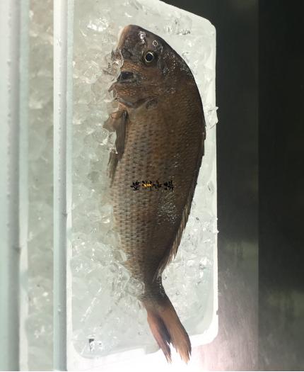 原條立魚 Snapper - Whole